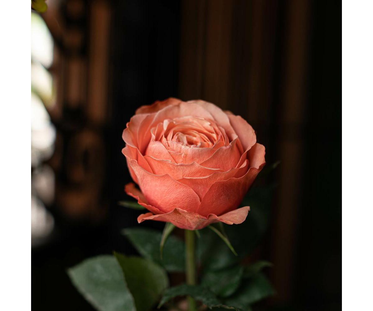 """Роза """"Кахала"""""""